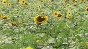 Solros som sv?nger i vinden f?r blommasolrosor f?r f?lt blom- yellow Blommor med frö t?ta f?ltfotosolrosor up yellow arkivfilmer