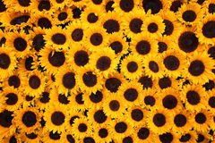 Solrosbakgrund Arkivbild