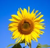 Solrosbakgrund Fotografering för Bildbyråer