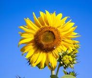 Solrosbakgrund Arkivfoto