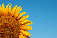 Solrosbakgrund med blå himmel Royaltyfri Foto