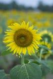 Solrosbakgrunder Royaltyfri Fotografi