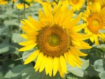 Solrosblom i trädgården royaltyfria bilder
