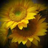 Solrosblomma Fotografering för Bildbyråer