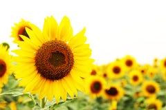 Solrosblomma av sommar Fotografering för Bildbyråer