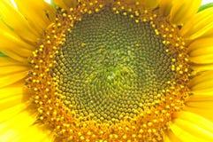 Solrosblommaclose upp fotografering för bildbyråer