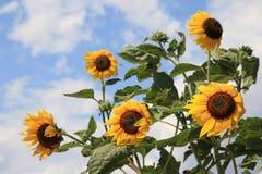 Solrosblommor som blåsas av vinden Royaltyfri Bild