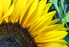 SolrosCloseup: Detaljer av kronblad, Corolla och gröna sidor i bakgrund royaltyfri fotografi