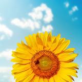 Solroscloseup med biet på fält Arkivbilder