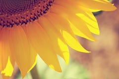 Solrosdetalj Fotografering för Bildbyråer