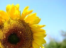 Solrosen är ett symbol av enhet, rättvisa, välstånd och solljus royaltyfria bilder