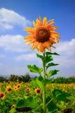 Solrosen Royaltyfria Bilder