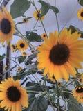 Solrosen blommar att blomma i min gård fotografering för bildbyråer