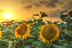 Solrosen blommar på solnedgången Royaltyfri Bild
