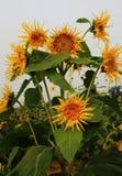 Solrosen gillar Van Gogh Fotografering för Bildbyråer