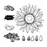 Solrosen kärnar ur och blommar vektorteckningsuppsättningen Hand dragen isolerad illustration Matingrediensen skissar royaltyfri illustrationer