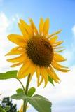 Solrosen mot en blå himmel är härlig Royaltyfria Foton