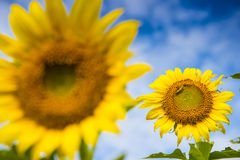 Solrosen och avmaskar Royaltyfri Fotografi