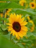 Solrosen sätter in in Royaltyfri Foto