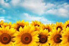 Solrosen sätter in Fotografering för Bildbyråer