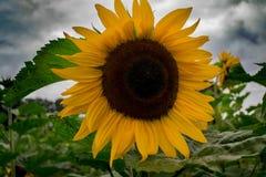 Solrosen skiner alltid, medan himmel är mulen Royaltyfria Foton