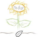 Solrosen som är fullvuxen från, kärnar ur Royaltyfri Fotografi