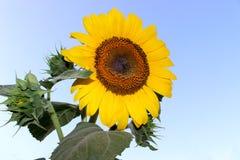 Solrosen som är ny på himmel med, behandla som ett barn solrosor Royaltyfri Foto
