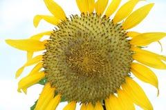 Solrosen som blommar på trädet med vit himmelbakgrund, gula solrosor, odlas för deras ätliga frö royaltyfri bild