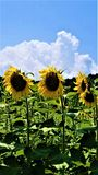 Solrosen står vakt lodlinje royaltyfri fotografi