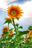 Solrosen växer på fältet Royaltyfri Foto