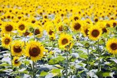 Solrosfält fotografering för bildbyråer