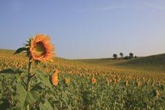 Solrosfält Royaltyfri Bild