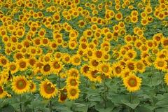 Solrosfält royaltyfria foton