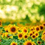 Solrosfält Royaltyfria Bilder
