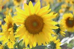 Solrosfält - 4 Arkivfoto