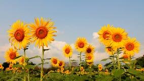 Solrosfält, bi på solrosen stock video
