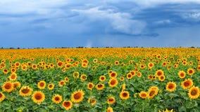 Solrosfält för åskväder Royaltyfri Fotografi