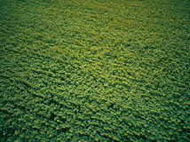 Solrosfält från luften arkivfoto