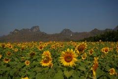Solrosfält framme av berget royaltyfri foto