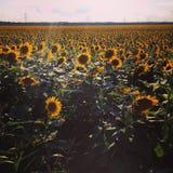 Solrosfält i Avalon Texas Arkivfoton