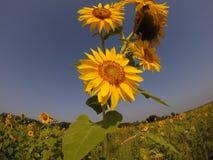 Solrosfält i blom Royaltyfri Foto