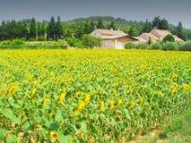 Solrosfält i Frankrike royaltyfria bilder