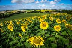 Solrosfält i Frankrike Arkivbilder