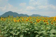 Solrosfält i Saraburi, Thailand Royaltyfri Foto