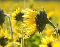 Solrosfält i solen Royaltyfria Foton