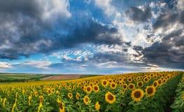 Solrosfält i sommar Arkivfoto