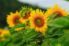 Solrosfält i Thailand royaltyfria bilder
