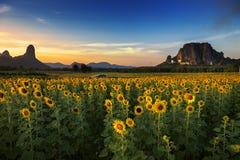 Solrosfält i Thailand Arkivbilder