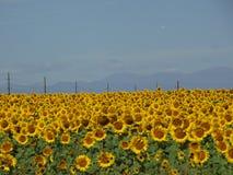 Solrosfält i utah Arkivfoto
