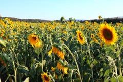 Solrosfält i Valensole, Provence Arkivbilder